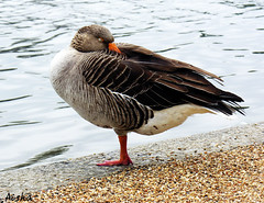 So Sleepy (Aisha B B) Tags: uk bird london animal duck nikon sleep coolpix hydepark lack 8800 garmooosha