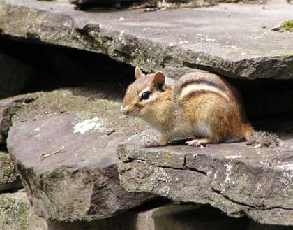 I love chipmunks!
