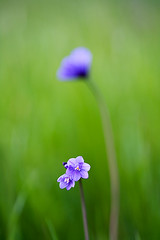 Blue Dicks in the Sierra Foothills (Dale Allyn) Tags: canon spring bokeh 5d wildflower bluedicks 100mmmacro ccmpfocus