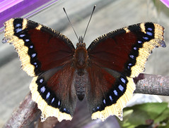 Full Grown Mourning Cloak (wanderingnome) Tags: california ca 15fav brown black butterfly may large lepidoptera explore dorsal captive venturacounty 050506 nymphalidae mourningcloak camberwellbeauty bmna nymphalis nymphalinae nymphalisantiopa theworldthroughmyeyes thebiggestgroup wanderingnomez oakviewca 358explorepage080406 oakviewlibrary ilovelibrariesorg