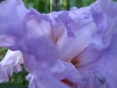 Pale Blue Iris (82skeletonkey) Tags: blue iris flower macro tag3 taggedout tag2 tag1 canonpowershots2is lptpt strixshot theworldthroughmyeyes