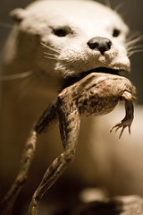 Said the Otter to the Frog (Thomas Hawk) Tags: california city usa topf25 animal museum sepia oakland unitedstates fav50 eating 10 unitedstatesofamerica fav20 frog otter eastbay fav30 oaklandmuseum fav10 fav25 fav40 fav60 oaklandmuseumofcalifornia fav70 superfave
