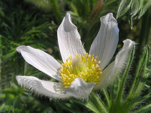 White pasqueflower - Pulsatilla