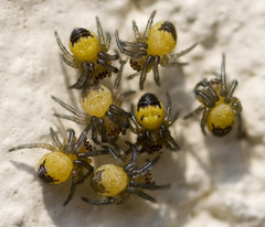"""Baby Cross, Garden Spiders (Araneus d(1) • <a style=""""font-size:0.8em;"""" href=""""http://www.flickr.com/photos/57024565@N00/144526173/"""" target=""""_blank"""">View on Flickr</a>"""