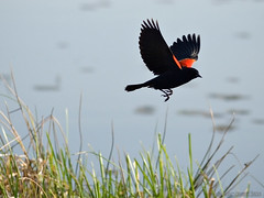 Red-winged Blackbird (agelaius phoeniceus) (Mark Klotz) Tags: canada birds animals inflight bc wildlife flight burnaby friday feathery redwingedblackbird agelaiusphoeniceus burnabylake markklotz