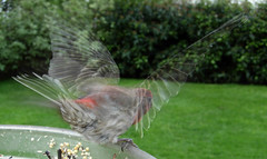 Gossamer Wings (quinet) Tags: male wings flash flight takeoff housefinch carpodacusmexicanus