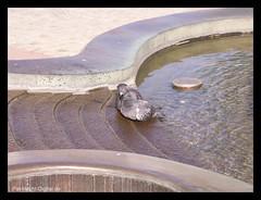 Turteltauben - Turtledoves (# -  * - + P A T T Y + - * - #) Tags: water fountain brunnen doves cmc tauben commentonmycuteness lovedoves wasserspielchen