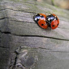 Ladybirds aren't barking up the wrong tree... (haikulinde) Tags: wood nature ladybird ladybugs beetles ladybirds blueribbonwinner supershot outstandingshots