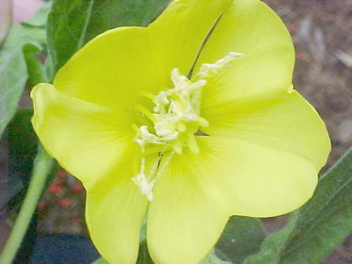Oenothera -Yellow Flower - My Yard