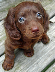 Teddy (Doxieone) Tags: dog brown puppy interestingness long teddy chocolate 2006 100v10f dachshund 1600 explore 101 v top20dogpix final 600 400 200 getty top20dogpixhalloffame 1200 exploreinterestingness hi 5bestdogs 300 500 700 haired 10000 topf100 800 1500 1000 900 mostpopular ggg my25 1100 1300 1002 longhaired ourdogs interestingness2 1400 onexplore final2 topfavorite onetopfave explored ggggg 1500v60f interestingness2006 cotcmostfavorites cmcaug06 1971140818 2001821141 211544830 2193147925 2245153926 doxieone101 2404161112 24701661110 25041691116 impressedbeauty 26071741213 3003315181 329718251107 teddyset 3915211hi 39802131021 4212217010108 4674226040608 ddate