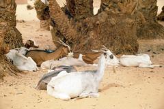 2001_0603_000113 Ziegen unter den Palmen an der Oase von Dahla (Uli Franke) Tags: sahara desert polisario wste medico hamada westernsahara dars rasd westsahara sahrauis sahraouis