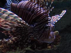 LIONFISH! (ShawnS52) Tags: aquarium newport newportaquarium