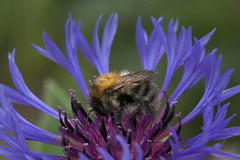 """A Bumble Bee • <a style=""""font-size:0.8em;"""" href=""""http://www.flickr.com/photos/57024565@N00/147511388/"""" target=""""_blank"""">View on Flickr</a>"""