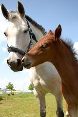 loved horse mom (schmilar77) Tags: horse animal animals tiere mare sigma pferd colt tier fohlen stute sigma1850mmf3556dc