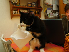 Achooo! (Dr. Hemmert) Tags: playing cat table kitten sweet napkin kitty tuxedo artemis sneeze