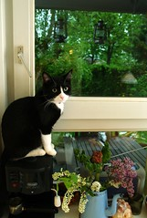 To the Jungle!!! (Dr. Hemmert) Tags: window cat kitten sweet kitty tuxedo artemis
