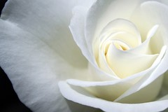 Rose Colombe (Christine Lebrasseur) Tags: light shadow white france flower macro art nature dedication rose canon poetry quote dove bordeaux onblack colombes interestingness80 nicphorevrettakos fcroses blackribbonicon allrightsreservedchristinelebrasseur