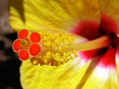 Yellow Hibiscus - by Heesterbeek Ineke