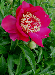 whiffy and bright (~ The Spudzinator ~ aka: ghall) Tags: pink flower green some location peony naturescall incrediblenature heartawardsgroup photostosmileabout goldsealofquality ghall excellentflowers floweria treeofhonor re3v mikesdance floresporlapaz themanekicat