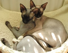 'spooning' for cats (Vina the Great) Tags: cats sweet nora jef cropped sphynx hairless jefnora