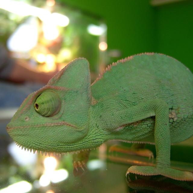chameleon #1