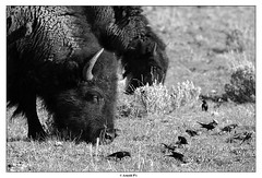 Sharing the food (Arnold Pouteau's) Tags: nationalpark buffalo may wyoming np teton tetons bison grandteton