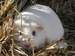 LilySunning (bivoir) Tags: pet cute animal guinea pig guineapig cavies cavy lily