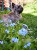Lemmikkini (totinkoti) Tags: flowers pets dogs animals backyard favorites hund blomma forgetmenot cairn cairnterrier totti puutarha koira lemmikit kukka kukat lassilanpuisto