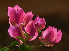 Bougainvillea (Pandiyan) Tags: pink flower flora bougainvillea backlit pandiyan pondicherry auroville paperflower bracy