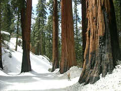Sequoias (Mono Andes) Tags: california trees forest nationalpark 2006 bosque yosemitenationalpark cupressaceae sequoia giantredwood parquenacional coastredwood sequoiasempervirens californiaredwood