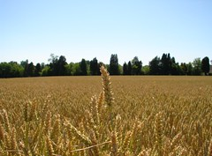 Wheat head above field