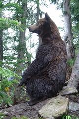 [フリー画像] [動物写真] [哺乳類] [熊/クマ] [ハイイログマ/グリズリー]       [フリー素材]