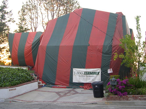 They tent the home then fill the tent with a poisenous gas that permiates the entire home. We tried an alternative methood first and it was a waste of time ... & Poisonous Spiders Invade San Diego