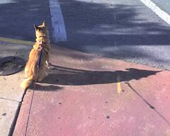 Kuma waiting to cross the street