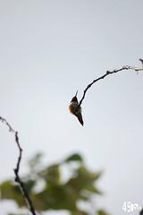 hummingbird 4 (punkbirdr) Tags: birds hummingbirds underneath greysky smallbirds rufous