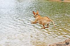 Jump! (nikita2471) Tags: dog sun lake playing water swimming puppy fun labrador yellowlab sam happiness labradorretriever summertime samson fetch