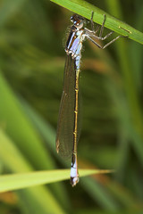 "Blue Tailed Damselfly (ischnura elega(3) • <a style=""font-size:0.8em;"" href=""http://www.flickr.com/photos/57024565@N00/161669958/"" target=""_blank"">View on Flickr</a>"