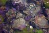 jellyfishes / méduses (christing-O-) Tags: sea animals rocks jellyfish purple mediterranenan