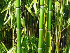 Bamboo (Grass) Forest (yago1.com) Tags: summer green nature switzerland natur 2006 vert bamboo panasonic bodensee gruen bambo fx8 flickrexplore yago1