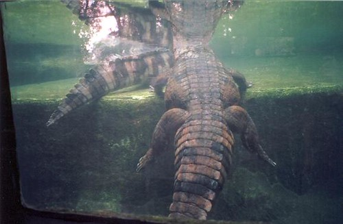Crocodiles, Singapore Zoo (3)