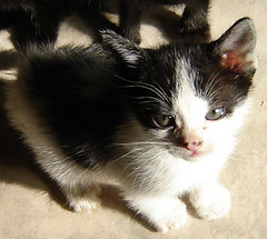 fred (sosgatinhos) Tags: pet cats love cat furry kitten feline chat kittens gatos gato felino neko shelter katz adoption adoo peludo adote abrigo animalwelfare catlover sosgatinhos