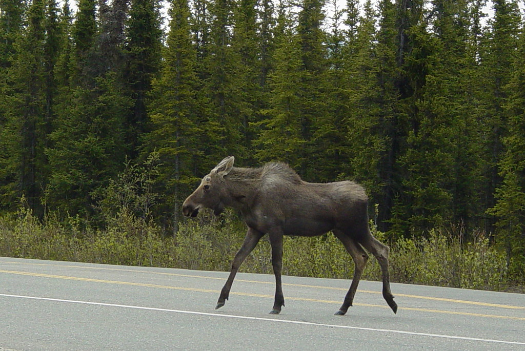 Moose! Wild Moose! by rkeefer, on Flickr