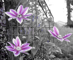 clematis (Carplips) Tags: flower color clematis vine trellis accent scoreme40