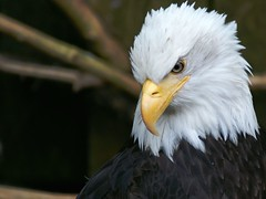 Bald Eagle - Alaska (Creativity+ Timothy K Hamilton) Tags: portrait brown white bird broken alaska 500v20f eagle flight wing baldeagle bald endangered eagles 1500v60f 1000v40f 3000v120f specanimal avianexcellence sav4del10