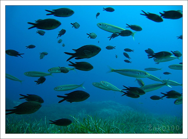Boops boops and Chromis chromis