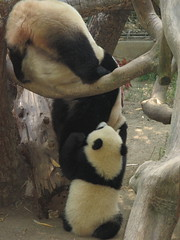 """I gotcha mama""  (are you sure Su?) (kjdrill) Tags: china california bear baby playing station giant zoo cub stand back funny panda sandiego bears chinese mother research tush sandiegozoo baiyun comical pandas endangeredspecies sdzoo sulin fcawinner"