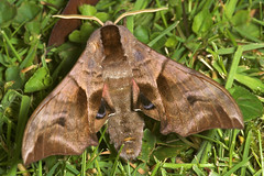 """Eyed HawkMoth (smerinthus ocellata)(3) • <a style=""""font-size:0.8em;"""" href=""""http://www.flickr.com/photos/57024565@N00/176993827/"""" target=""""_blank"""">View on Flickr</a>"""