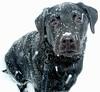 Snowdog (WinterHawk) Tags: winter dog snow cold tag3 taggedout puppy lab labrador tag2 tag1 nieve perro explore 101 blacklab labradorretriever invierno 10faves 5hits missedthetag fasttag