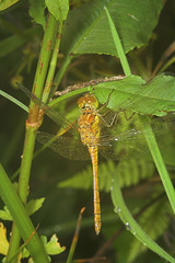 """Common Darter DragonFly (sympetrum s(35) • <a style=""""font-size:0.8em;"""" href=""""http://www.flickr.com/photos/57024565@N00/181483981/"""" target=""""_blank"""">View on Flickr</a>"""