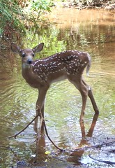 Cautious (N. Mexico) Tags: brown nature water ilovenature stream 123 spots fawn ark athingofbeautyisajoyforever magicmoments noahs allanimals noahsark femalephotographers nicepictures commentonmycuteness specnature theworldthroughmyeyes attherighttime thepainter